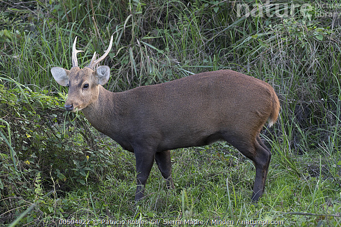 Hog Deer (Axis porcinus) male, India  ,  Adult, Axis porcinus, Color Image, Day, Endangered Species, Full Length, Hog Deer, Horizontal, India, Male, Nobody, One Animal, Outdoors, Photography, Side View, Wildlife  ,  Patricio Robles Gil/ Sierra Madre