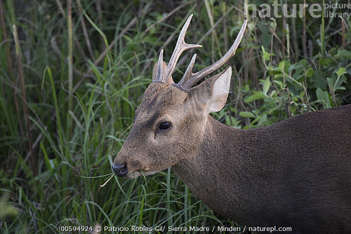 Hog Deer (Axis porcinus) male feeding, India  ,  Adult, Axis porcinus, Close Up, Color Image, Day, Endangered Species, Feeding, Head and Shoulders, Hog Deer, Horizontal, India, Male, Nobody, One Animal, Outdoors, Photography, Portrait, Profile, Side View, Wildlife  ,  Patricio Robles Gil/ Sierra Madre