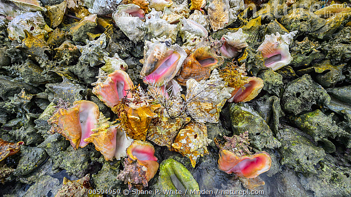 Discarded shells left over from over-harvesting, Saint Vincent, Caribbean  ,  Adult, Caribbean, Color Image, Day, Environmental Issue, Full Length, Horizontal, Large Group of Objects, Nobody, Outdoors, Over fishing, Photography, Saint Vincent, Shell, Side View, Wildlife  ,  Shane P. White