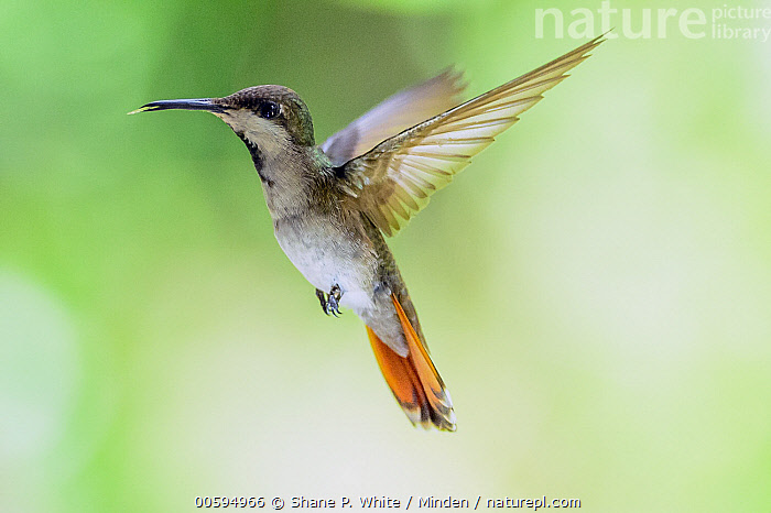 Ruby-topaz Hummingbird (Chrysolampis mosquitus) flying, Castara Beach, Trinidad and Tobago, Caribbean  ,  Adult, Caribbean, Castara Beach, Chrysolampis mosquitus, Color Image, Day, Flying, Full Length, High Speed, Horizontal, Nobody, One Animal, Outdoors, Photography, Ruby-topaz Hummingbird, Side View, Trinidad and Tobago, Wildlife  ,  Shane P. White