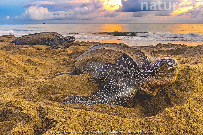 Leatherback Sea Turtle (Dermochelys coriacea) females on beach at sunrise after egg laying, Trinidad and Tobago, Caribbean  ,  Adult, Beach, Caribbean, Color Image, Critically Endangered Species, Day, Dermochelys coriacea, Endangered Species, Female, Full Length, Horizontal, Leatherback Sea Turtle, Nobody, Outdoors, Photography, Side View, Sunrise, Trinidad and Tobago, Two Animals, Wildlife  ,  Shane P. White