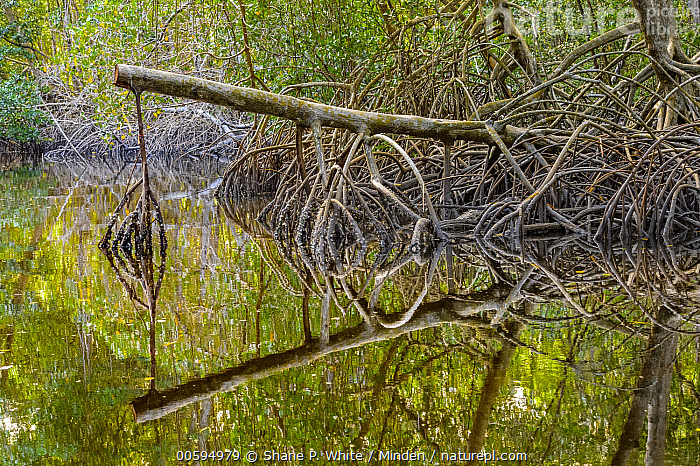 Mangrove (Rhizophoraceae) aerial roots, Caroni Swamp, Trinidad and Tobago, Caribbean  ,  Aerial Root, Caroni Swamp, Caribbean, Color Image, Day, Horizontal, Landscape, Mangrove, Nobody, Outdoors, Photography, Reflection, Rhizophoraceae, Trinidad and Tobago  ,  Shane P. White