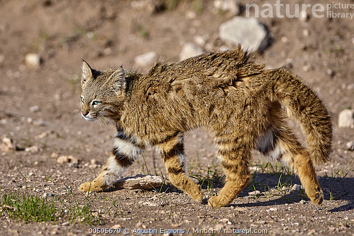 Pampas Cat (Leopardus colocolo) in defensive posture, La Pampa, Argentina  ,  Adult, Argentina, Color Image, Day, Defensive Posture, Displaying, Full Length, Horizontal, La Pampa, Leopardus colocolo, Nobody, One Animal, Outdoors, Pampas Cat, Photography, Side View, Wildlife  ,  Agustin Esmoris