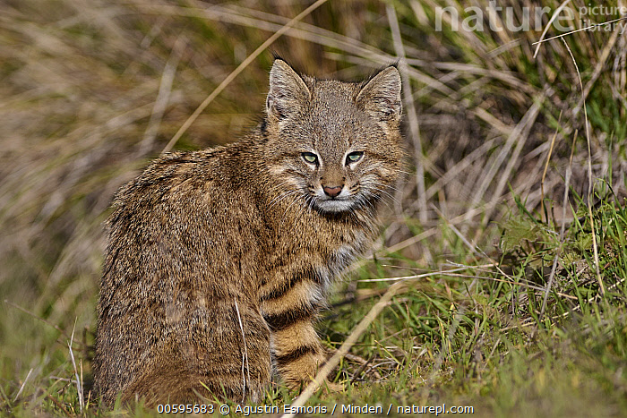 Pampas Cat (Leopardus colocolo), La Pampa, Argentina  ,  Adult, Argentina, Color Image, Day, Horizontal, La Pampa, Leopardus colocolo, Looking at Camera, Nobody, One Animal, Outdoors, Pampas Cat, Photography, Side View, Three Quarter Length, Wildlife  ,  Agustin Esmoris