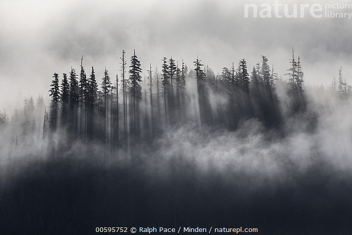 Fog over coniferous forest, Halleck Bay, Alaska, Aerial View, Alaska, Color Image, Coniferous Forest, Day, Fog, Halleck Bay, Horizontal, Landscape, Moody, Nobody, Outdoors, Photography, Tree, Ralph Pace