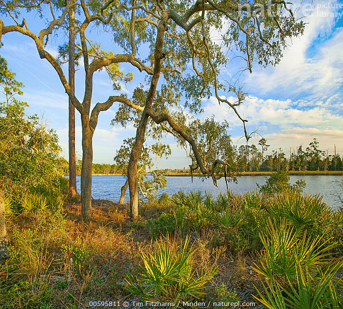Southern Live Oak (Quercus virginiana) trees, Ochlockonee River State Park, Florida  ,  Blue Sky, Color Image, Day, Florida, Horizontal, Landscape, Nobody, Ochlockonee River State Park, Outdoors, Photography, Quercus virginiana, Southern Live Oak, Square, Tree  ,  Tim Fitzharris
