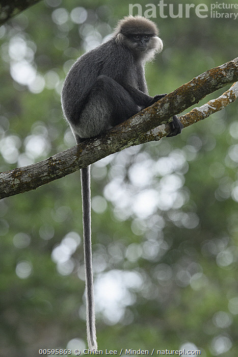 Purple-faced Langur (Trachypithecus vetulus), Sinharaja Forest Reserve, Sri Lanka  ,  Adult, Arboreal, Color Image, Day, Endangered Species, Full Length, Looking at Camera, Nobody, One Animal, Outdoors, Photography, Purple-faced Langur, Side View, Sinharaja Forest Reserve, Sri Lanka, Trachypithecus vetulus, Vertical, Wildlife  ,  Ch'ien Lee