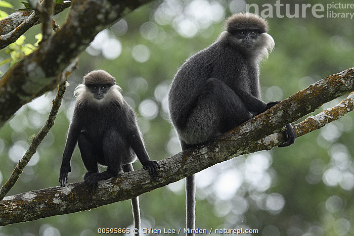 Purple-faced Langur (Trachypithecus vetulus) mother and juvenile, Sinharaja Forest Reserve, Sri Lanka  ,  Adult, Arboreal, Color Image, Day, Endangered Species, Female, Front View, Full Length, Horizontal, Juvenile, Looking at Camera, Mother, Nobody, Outdoors, Parent, Photography, Purple-faced Langur, Side View, Sinharaja Forest Reserve, Sri Lanka, Three Quarter Length, Trachypithecus vetulus, Two Animals, Wildlife  ,  Ch'ien Lee