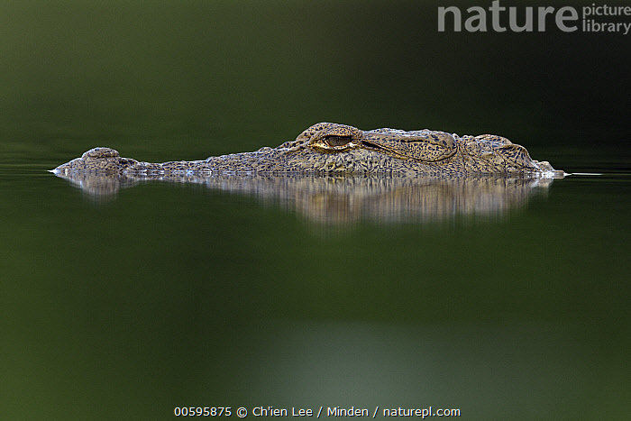 Mugger Crocodile (Crocodylus palustris), Yala National Park, Sri Lanka  ,  Adult, Color Image, Crocodylus palustris, Day, Head, Horizontal, Mugger Crocodile, Nobody, One Animal, Outdoors, Photography, Portrait, Profile, Side View, Sri Lanka, Threatened Species, Vulnerable Species, Wildlife, Yala National Park  ,  Ch'ien Lee