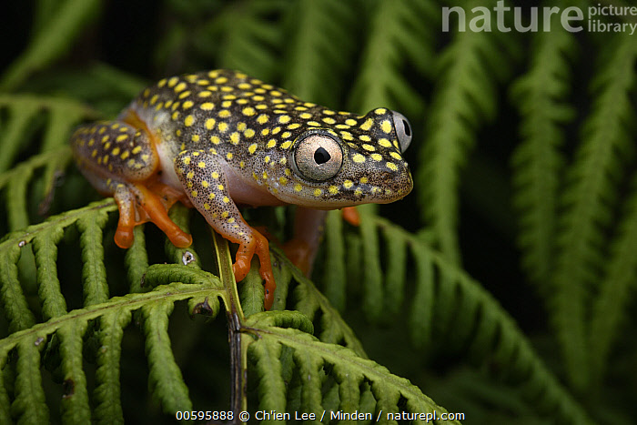 White-spotted Reed Frog (Heterixalus alboguttatus), Ranomafana National Park, Madagascar  ,  Adult, Color Image, Day, Full Length, Heterixalus alboguttatus, Horizontal, Madagascar, Nobody, One Animal, Outdoors, Photography, Ranomafana National Park, Side View, White-spotted Reed Frog, Wildlife  ,  Ch'ien Lee