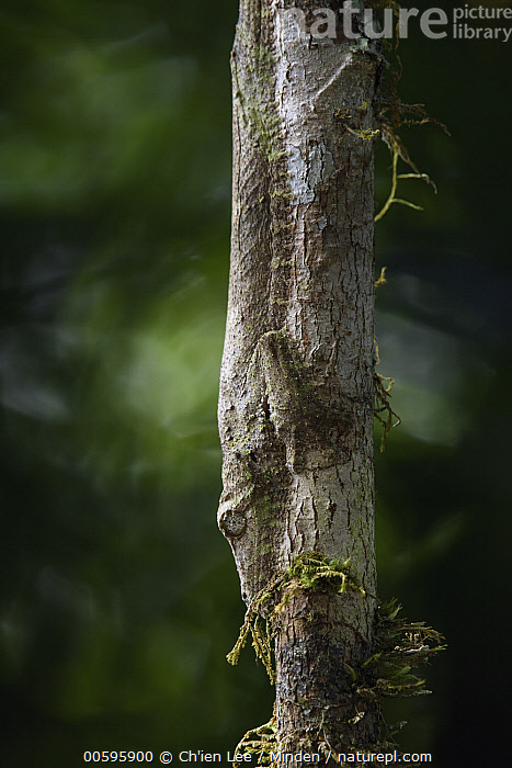 Leaf-tailed Gecko (Uroplatus sikorae) camouflaged on tree, Mantadia National Park, Madagascar  ,  Adult, Camouflage, Color Image, Day, Leaf-tailed Gecko, Madagascar, Mantadia National Park, Nobody, One Animal, Outdoors, Photography, Side View, Three Quarter Length, Upside Down, Uroplatus sikorae, Vertical, Wildlife  ,  Ch'ien Lee