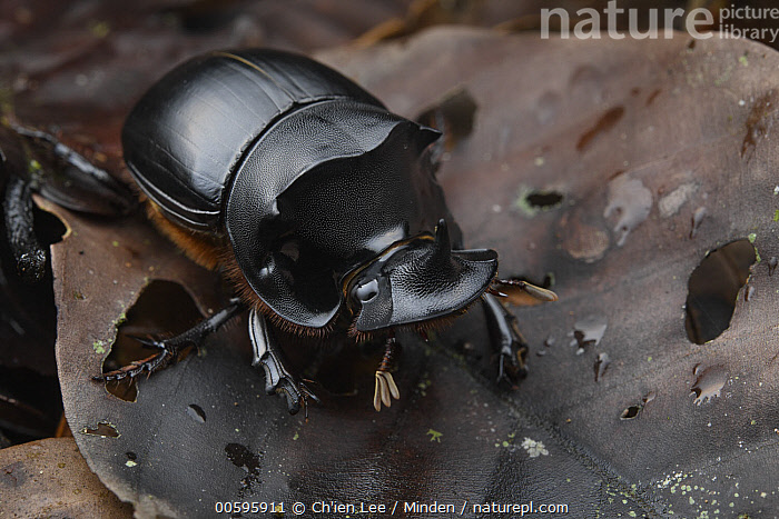 Dung Beetle (Catharsius renaudpauliani) male, Sabah, Borneo, Malaysia  ,  Adult, Borneo, Catharsius renaudpauliani, Color Image, Day, Dung Beetle, Full Length, Horizontal, Male, Malaysia, Nobody, One Animal, Outdoors, Photography, Sabah, Side View, Wildlife  ,  Ch'ien Lee