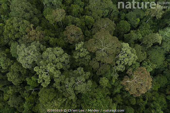 Rainforest canopy during mass flowering, Danum Valley Conservation Area, Sabah, Borneo, Malaysia  ,  Aerial View, Borneo, Canopy, Color Image, Danum Valley Conservation Area, Day, Flowering, Horizontal, Landscape, Malaysia, Nobody, Outdoors, Photography, Rainforest, Sabah  ,  Ch'ien Lee