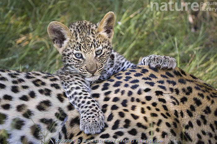 Leopard (Panthera pardus) five-week-old cub, Jao Reserve, Botswana, Adult, Baby, Botswana, Color Image, Cub, Cute, Day, Front View, Head and Shoulders, Horizontal, Jao Reserve, Leopard, Looking at Camera, Nobody, Outdoors, Panthera pardus, Photography, Portrait, Side View, Two Animals, Wildlife, Suzi Eszterhas