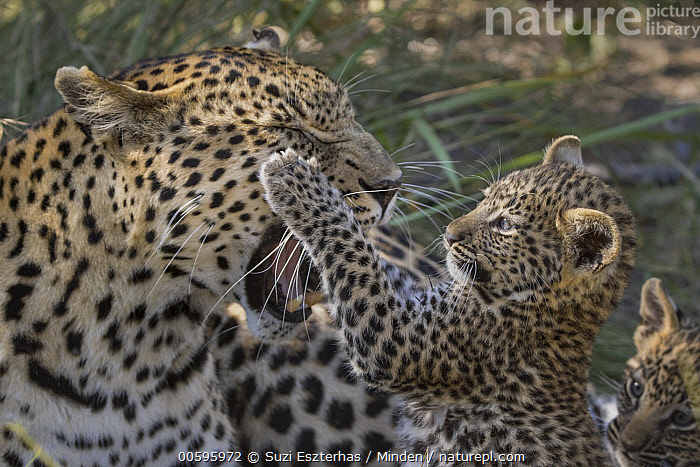 Leopard (Panthera pardus) six-week-old cub playing with mother, Jao Reserve, Botswana, Adult, Baby, Botswana, Close Up, Color Image, Cub, Cute, Day, Female, Head and Shoulders, Horizontal, Jao Reserve, Leopard, Mother, Nobody, Outdoors, Panthera pardus, Parent, Photography, Playing, Side View, Snarling, Two Animals, Waist Up, Wildlife, Suzi Eszterhas