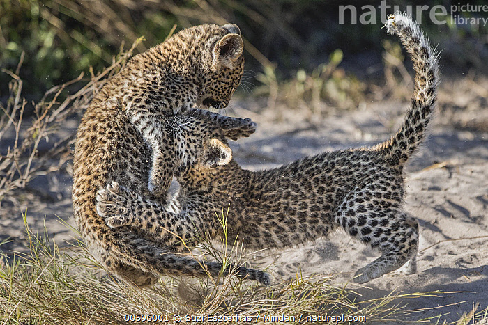Leopard (Panthera pardus) six-week-old cubs playing, Jao Reserve, Botswana, Adult, Baby, Botswana, Color Image, Cub, Day, Full Length, Horizontal, Jao Reserve, Jumping, Leopard, Nobody, Outdoors, Panthera pardus, Photography, Playing, Sibling, Side View, Two Animals, Wildlife, Suzi Eszterhas