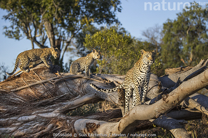 Leopard (Panthera pardus) mother and four-month-old cubs, Jao Reserve, Botswana, Adult, Baby, Botswana, Color Image, Cub, Day, Female, Full Length, Horizontal, Jao Reserve, Leopard, Mother, Nobody, Outdoors, Panthera pardus, Parent, Photography, Side View, Three Animals, Wildlife, Suzi Eszterhas