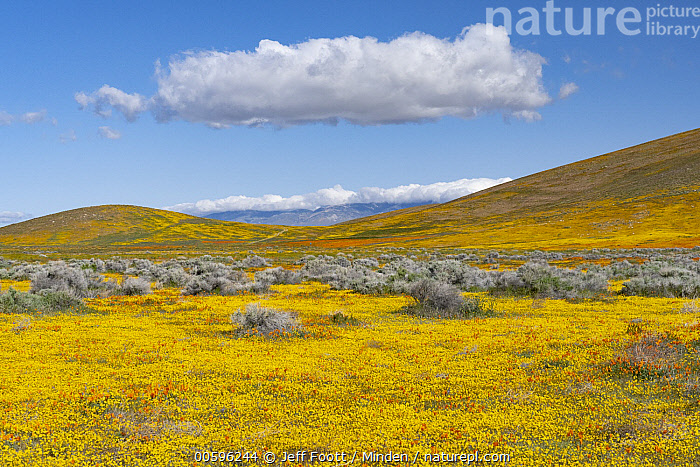 California Poppy (Eschscholzia californica) and Goldfield (Lasthenia californica) flowers, super bloom, Antelope Valley, California, Antelope Valley, Blue Sky, California Poppy, California, Color Image, Day, Eschscholzia californica, Field, Flower, Goldfield, Horizontal, Landscape, Lasthenia californica, Meadow, Nobody, Outdoors, Photography, Spring, Super Bloom, Wildflower, Yellow, Jeff Foott