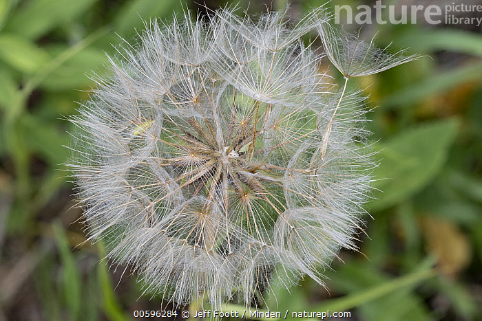 Meadow Salsify (Tragopogon pratensis) seedhead, Grand Teton National Park, Wyoming  ,  Color Image, Day, Fluffy, Grand Teton National Park, Horizontal, Meadow Salsify, Nobody, Outdoors, Photography, Seedhead, Tragopogon pratensis, Wyoming  ,  Jeff Foott