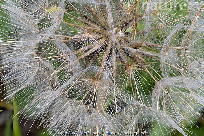 Meadow Salsify (Tragopogon pratensis) seedhead, Grand Teton National Park, Wyoming  ,  Close Up, Color Image, Day, Detail, Grand Teton National Park, Horizontal, Meadow Salsify, Nobody, Outdoors, Photography, Seedhead, Tragopogon pratensis, Wyoming  ,  Jeff Foott