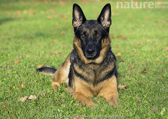 German Shepherd (Canis familiaris), North America  ,  Adult, Canis familiaris, Color Image, Day, Front View, Full Length, German Shepherd, Horizontal, Looking at Camera, Nobody, North America, One Animal, Outdoors, Pet, Photography  ,  Mark Raycroft