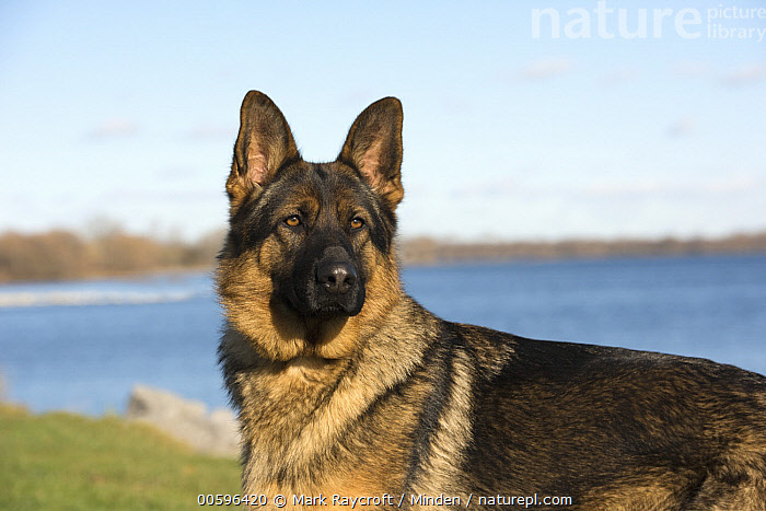 German Shepherd (Canis familiaris) female, North America  ,  Adult, Canis familiaris, Color Image, Day, Female, German Shepherd, Horizontal, Nobody, North America, One Animal, Outdoors, Pet, Photography, Side View, Waist Up  ,  Mark Raycroft