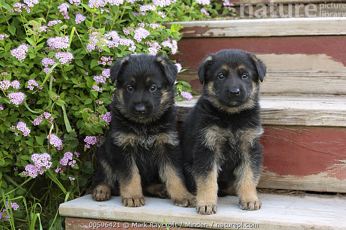 German Shepherd (Canis familiaris) puppies, North America  ,  Baby, Canis familiaris, Color Image, Cute, Day, Front View, Full Length, German Shepherd, Horizontal, Looking at Camera, Nobody, North America, Outdoors, Pet, Photography, Puppy, Two Animals, Young  ,  Mark Raycroft
