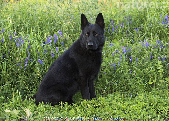 German Shepherd (Canis familiaris), North America  ,  Adult, Canis familiaris, Color Image, Day, Full Length, German Shepherd, Horizontal, Nobody, North America, One Animal, Outdoors, Pet, Photography, Side View  ,  Mark Raycroft