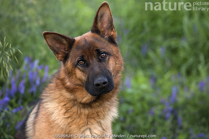 German Shepherd (Canis familiaris), North America  ,  Adult, Canis familiaris, Color Image, Day, Front View, German Shepherd, Head and Shoulders, Horizontal, Looking at Camera, Nobody, North America, One Animal, Outdoors, Pet, Photography, Portrait  ,  Mark Raycroft