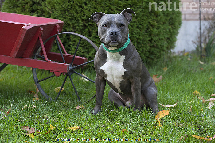 American Pit Bull Terrier (Canis familiaris), North America  ,  Adult, American Pit Bull Terrier, Canis familiaris, Color Image, Day, Front View, Full Length, Horizontal, Looking at Camera, Nobody, North America, One Animal, Outdoors, Pet, Photography  ,  Mark Raycroft