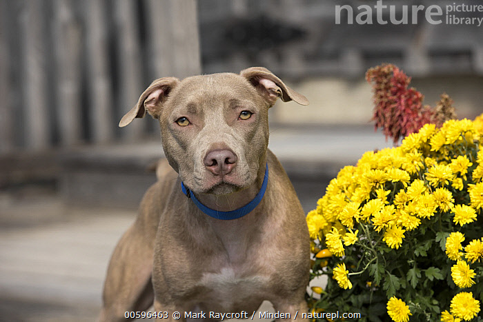 American Pit Bull Terrier (Canis familiaris), North America  ,  Adult, American Pit Bull Terrier, Canis familiaris, Color Image, Day, Front View, Horizontal, Looking at Camera, Nobody, North America, One Animal, Outdoors, Pet, Photography, Waist Up  ,  Mark Raycroft