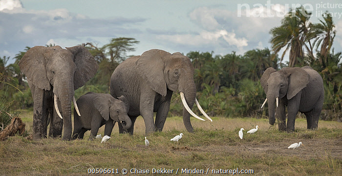 African Elephant (Loxodonta africana) herd with Cattle Egrets (Bubulcus ibis), Amboseli National Park, Kenya  ,  Adult, African Elephant, Amboseli National Park, Bubulcus ibis, Color Image, Day, Four Animals, Full Length, Herd, Horizontal, Kenya, Loxodonta africana, Nobody, Outdoors, Photography, Side View, Threatened Species, Vulnerable Species, Wading Bird, Wildlife  ,  Chase Dekker