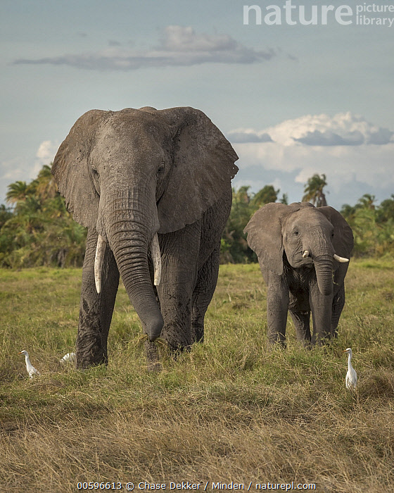 African Elephant (Loxodonta africana) mother and calf and Cattle Egrets (Bubulcus ibis), Amboseli National Park, Kenya  ,  Adult, African Elephant, Amboseli National Park, Baby, Bubulcus ibis, Calf, Cattle Egret, Color Image, Day, Female, Five Animals, Front View, Full Length, Kenya, Looking at Camera, Loxodonta africana, Mother, Nobody, Outdoors, Parent, Photography, Threatened Species, Vertical, Vulnerable Species, Wading Bird, Wildlife  ,  Chase Dekker