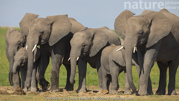 African Elephant (Loxodonta africana) herd, Amboseli National Park, Kenya  ,  Adult, African Elephant, Amboseli National Park, Baby, Calf, Color Image, Day, Female, Full Length, Herd, Horizontal, Kenya, Loxodonta africana, Medium Group of Animals, Mother, Nobody, Outdoors, Parent, Photography, Side View, Threatened Species, Vulnerable Species, Wildlife  ,  Chase Dekker