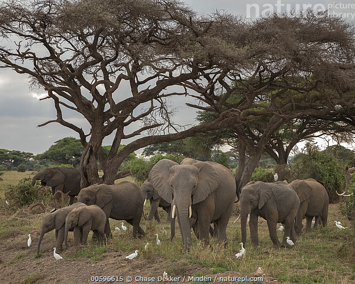 African Elephant (Loxodonta africana) herd and Cattle Egrets (Bubulcus ibis), Amboseli National Park, Kenya  ,  Adult, African Elephant, Amboseli National Park, Bubulcus ibis, Cattle Egret, Color Image, Day, Front View, Full Length, Herd, Horizontal, Kenya, Large Group of Animals, Looking at Camera, Loxodonta africana, Mutualism, Nobody, Outdoors, Photography, Side View, Symbiosis, Threatened Species, Vulnerable Species, Wading Bird, Wildlife  ,  Chase Dekker