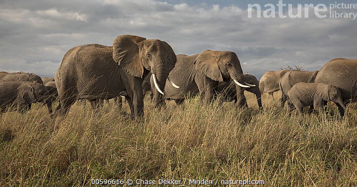African Elephant (Loxodonta africana) herd, Amboseli National Park, Kenya  ,  Adult, African Elephant, Amboseli National Park, Color Image, Day, Full Length, Herd, Horizontal, Kenya, Loxodonta africana, Medium Group of Animals, Nobody, Outdoors, Panoramic, Photography, Side View, Threatened Species, Vulnerable Species, Wildlife  ,  Chase Dekker