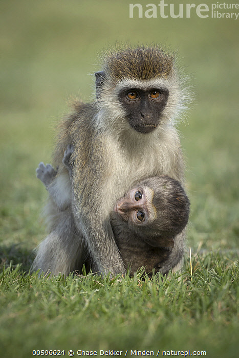 Vervet Monkey (Chlorocebus pygerythrus) mother and young, Amboseli National Park, Kenya  ,  Adult, Amboseli National Park, Baby, Chlorocebus pygerythrus, Color Image, Cute, Day, Female, Front View, Full Length, Kenya, Looking at Camera, Mother, Nobody, Outdoors, Parent, Photography, Side View, Three Quarter Length, Two Animals, Vertical, Vervet Monkey, Wildlife, Young  ,  Chase Dekker