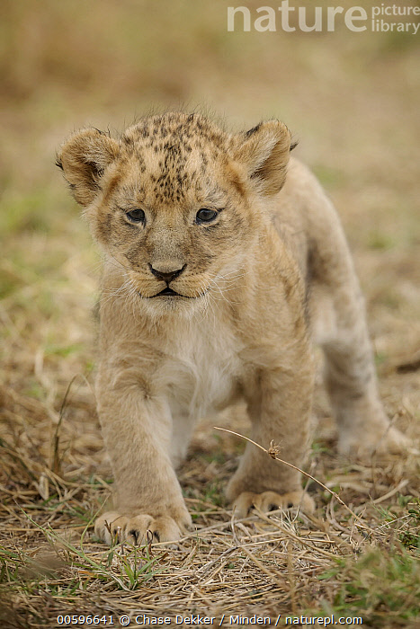 African Lion (Panthera leo) cub, Masai Mara, Kenya  ,  African Lion, Baby, Color Image, Cub, Cute, Day, Front View, Full Length, Kenya, Looking at Camera, Masai Mara, Nobody, One Animal, Outdoors, Panthera leo, Photography, Threatened Species, Vertical, Vulnerable Species, Wildlife  ,  Chase Dekker