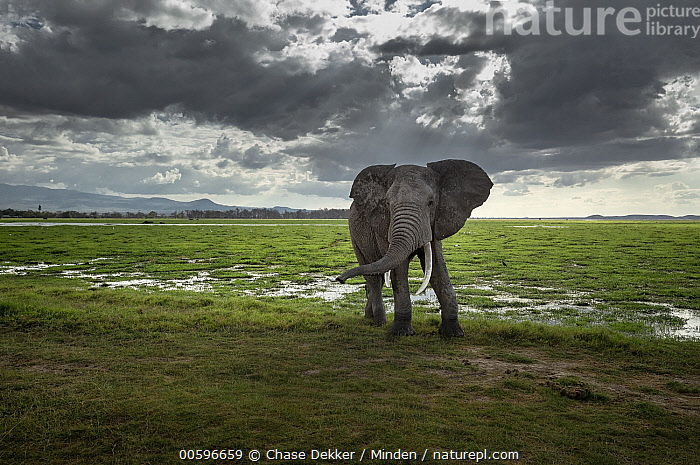 African Elephant (Loxodonta africana) bull in savanna, Amboseli National Park, Kenya  ,  Adult, African Elephant, Amboseli National Park, Animal in Habitat, Bull, Cloudy, Color Image, Day, Full Length, Horizontal, Kenya, Looking at Camera, Loxodonta africana, Male, Moody, Nobody, One Animal, Outdoors, Photography, Savanna, Side View, Threatened Species, Vulnerable Species, Wildlife  ,  Chase Dekker