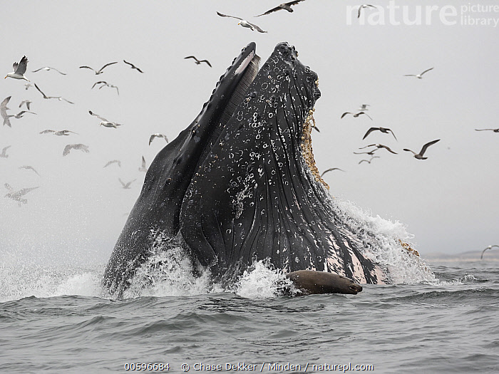 Humpback Whale (Megaptera novaeangliae) gulp feeding on Northern Anchovy (Engraulis mordax), Monterey Bay, California  ,  Adult, California, Color Image, Day, Engraulis mordax, Full Length, Gulp Feeding, Head, Horizontal, Humpback Whale, Large Group of Animals, Marine Mammal, Megaptera novaeangliae, Monterey Bay, Nobody, Northern Anchovy, Outdoors, Photography, Predating, Predator, Prey, Side View, Square, Wildlife,Adult, California, Color Image, Day, Engraulis mordax, Full Length, Gulp Feeding, Head, Horizontal, Humpback Whale, Large Group of Animals, Marine Mammal, Megaptera novaeangliae, Monterey Bay, Nobody, Northern Anchovy, Outdoors, Photography, Predating, Predator, Prey, Side View, Square, Wildlife  ,  Chase Dekker