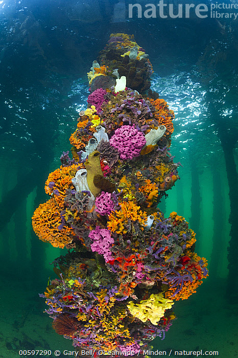 Piling with sponges, tunicates, and ascidians, Yorke Peninsula, South Australia, Australia, Adult, Ascidian, Australia, Biodiversity, Color Image, Day, Full Length, Large Group of Animals, Nobody, Outdoors, Photography, Pier, Piling, Side View, South Australia, Sponge, Tunicate, Underwater, Vertical, Wildlife, Yorke Peninsula, Gary Bell/ Oceanwide