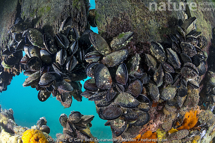 Mediterranean Mussel (Mytilus galloprovincialis) group, Port Phillip Bay, Mornington Peninsula, Victoria, Australia, Adult, Australia, Color Image, Day, Full Length, Horizontal, Large Group of Animals, Mediterranean Mussel, Mornington Peninsula, Mytilus galloprovincialis, Nobody, Outdoors, Photography, Port Phillip Bay, Side View, Underwater, Victoria, Wildlife, Gary Bell/ Oceanwide