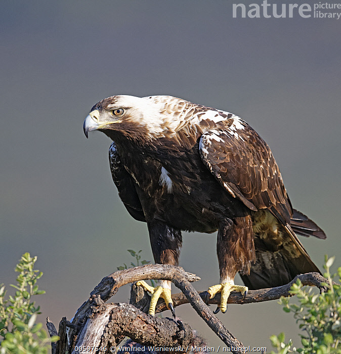 Spanish Imperial Eagle (Aquila adalberti), Extremadura, Spain  ,  Adult, Aquila adalberti, Color Image, Day, Extremadura, Full Length, Nobody, One Animal, Outdoors, Photography, Raptor, Side View, Spain, Spanish Imperial Eagle, Threatened Species, Vertical, Vulnerable Species, Wildlife  ,  Winfried Wisniewski