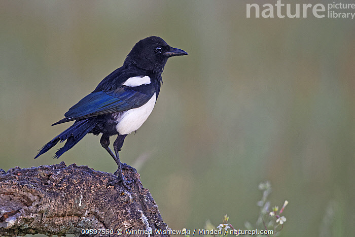 European Magpie (Pica pica), Spain  ,  Adult, Color Image, Day, European Magpie, Full Length, Horizontal, Nobody, One Animal, Outdoors, Photography, Pica pica, Side View, Songbird, Spain, Wildlife  ,  Winfried Wisniewski