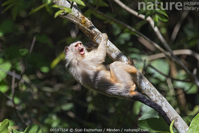 Emilia's Marmoset (Mico emiliae) calling, Amazon, Brazil  ,  Adult, Amazon, Arboreal, Brazil, Calling, Color Image, Day, Emilia's Marmoset, Full Length, Hanging, Horizontal, Mico emiliae, Nobody, One Animal, Open Mouth, Outdoors, Photography, Side View, Wildlife  ,  Suzi Eszterhas