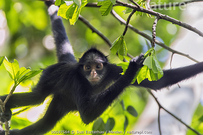 White-whiskered Spider Monkey (Ateles marginatus), Amazon, Brazil  ,  Adult, Amazon, Arboreal, Ateles marginatus, Brazil, Color Image, Day, Endangered Species, Horizontal, Looking at Camera, Nobody, One Animal, Outdoors, Photography, Side View, Three Quarter Length, White-whiskered Spider Monkey, Wildlife  ,  Suzi Eszterhas