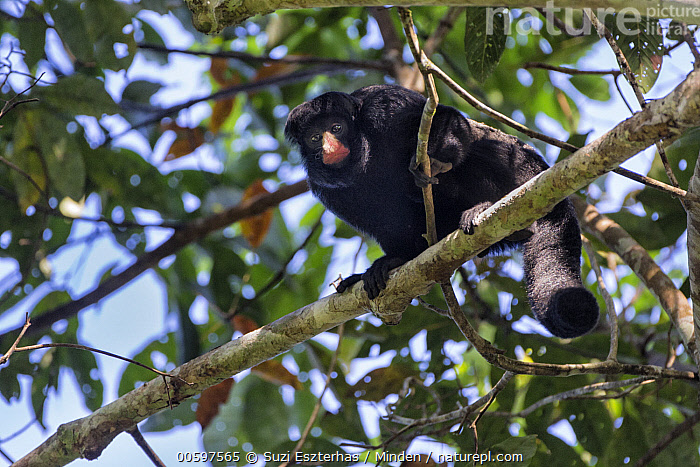 White-nosed Bearded Saki (Chiropotes albinasus), Amazon, Brazil  ,  Adult, Amazon, Arboreal, Brazil, Chiropotes albinasus, Color Image, Day, Endangered Species, Full Length, Horizontal, Looking at Camera, Low Angle View, Nobody, One Animal, Outdoors, Photography, Side View, White-nosed Bearded Saki, Wildlife  ,  Suzi Eszterhas