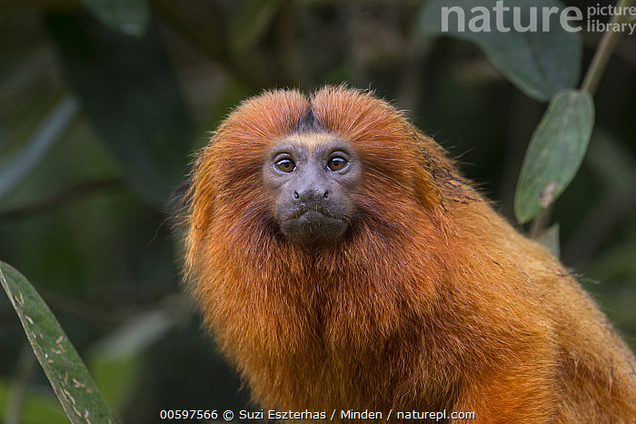 Golden Lion Tamarin (Leontopithecus rosalia), Atlantic Forest, Brazil  ,  Adult, Arboreal, Atlantic Forest, Brazil, Color Image, Day, Endangered Species, Golden Lion Tamarin, Horizontal, Leontopithecus rosalia, Looking at Camera, Nobody, One Animal, Outdoors, Photography, Side View, Waist Up, Wildlife  ,  Suzi Eszterhas