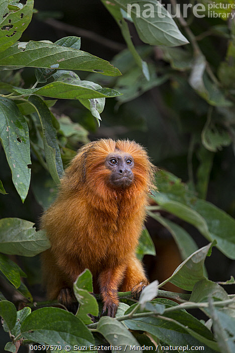 Golden Lion Tamarin (Leontopithecus rosalia), Atlantic Forest, Brazil  ,  Adult, Arboreal, Atlantic Forest, Brazil, Color Image, Day, Endangered Species, Front View, Full Length, Golden Lion Tamarin, Leontopithecus rosalia, Nobody, One Animal, Outdoors, Photography, Vertical, Wildlife  ,  Suzi Eszterhas
