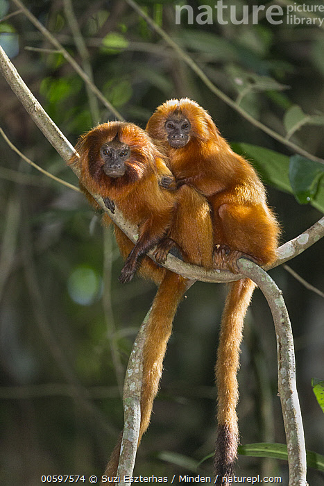 Golden Lion Tamarin (Leontopithecus rosalia) pair, Atlantic Forest, Brazil  ,  Adult, Affection, Arboreal, Atlantic Forest, Brazil, Color Image, Day, Endangered Species, Friend, Full Length, Golden Lion Tamarin, Leontopithecus rosalia, Looking at Camera, Nobody, Outdoors, Photography, Side View, Tenderness, Two Animals, Vertical, Wildlife  ,  Suzi Eszterhas